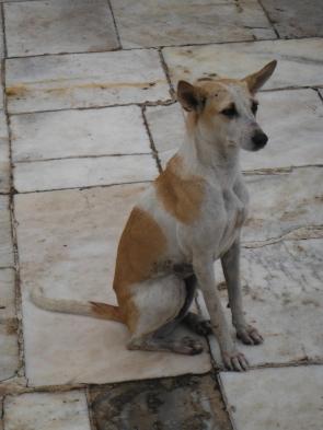 A stray dog at the Taj